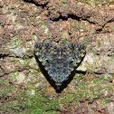 Glenopteris oculifera
