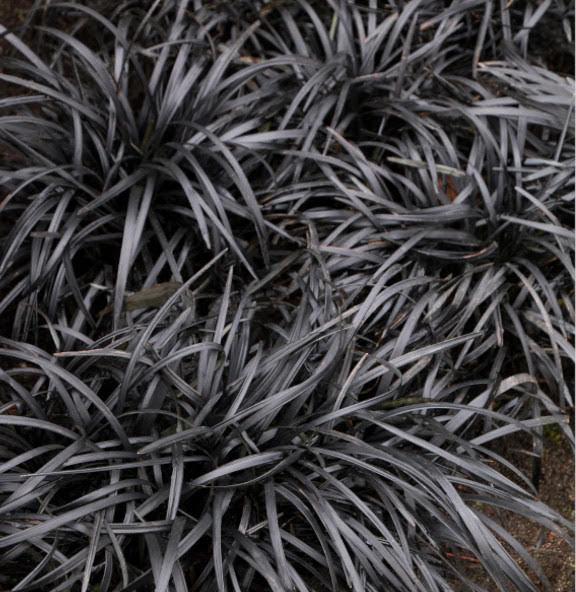 Ophiopogon planta de color morado oscuro casi negro instalada en jardines verticales