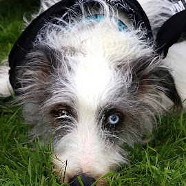 Flower by Chrissie Barrow - Animals - Dogs Portraits ( female, pet, white, fur, ears, grey, rough, dog, nose, crossbreed, lurcher, coat, deaf, eyes,  )