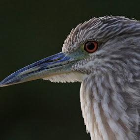 Profile of a Juvenile  Heron by Deb Bulger - Animals Birds ( animals, nature, black night crowned heron, herons, juvenile birds, wildlife, birds, close ups,  )