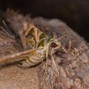 Oleander Hawk Moth.