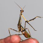 Unicorn mantis