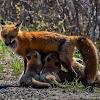 Red Fox -Mother nursing kits