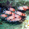 Doubletooth soldierfish