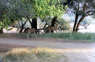 Photo: Two Chital stags squaring up to each other in Ranthambhore