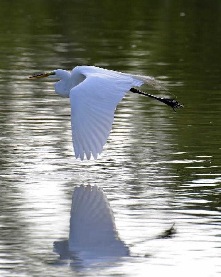 Reflection by Bill Telkamp - Animals Birds ( water, flight, reflection, birds,  )