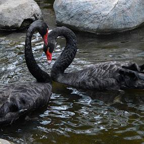 black love by Yosep Atmaja - Animals Birds