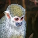 Macaco-de-cheiro (Common Squirrel Monkey)