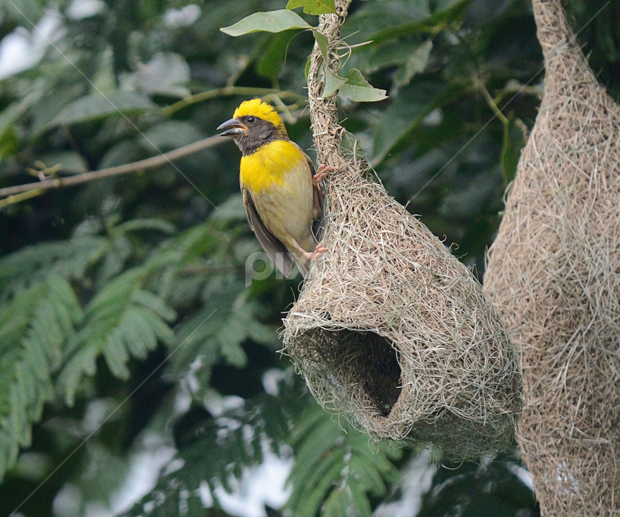 Baya Weaver Bird Building Its Nest Hives Nests Nature Up