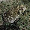 Cuban toad