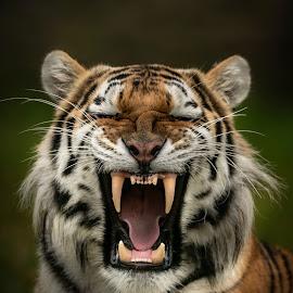 Dragan  by Paul Fine - Animals Lions, Tigers & Big Cats ( amur, fangs, predator, siberian, endangered, teeth, big cats, roar, tiger )