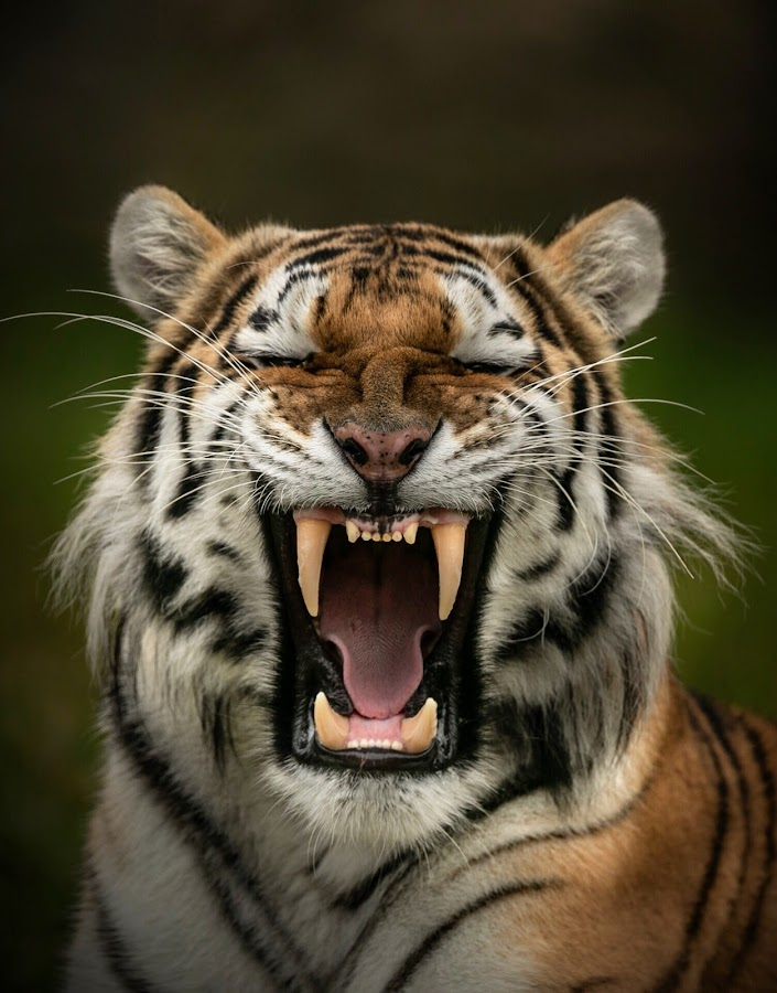 Dragan  by Paul Fine - Animals Lions, Tigers & Big Cats ( amur, fangs, predator, siberian, endangered, teeth, big cats, roar, tiger )