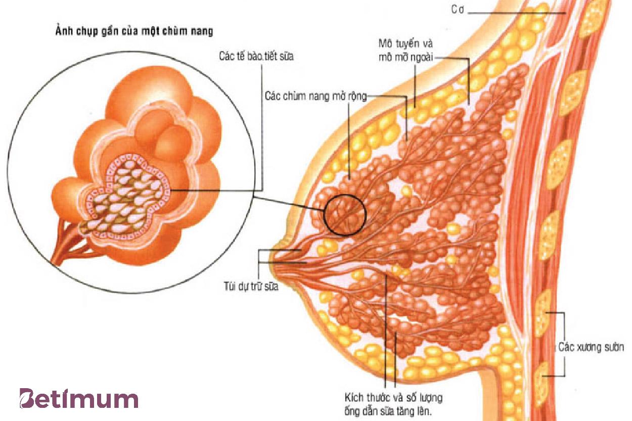 Mô tuyến vú là bộ phận chính trong bầu ngực có chức năng tạo sữa, dẫn truyền và tiết sữa