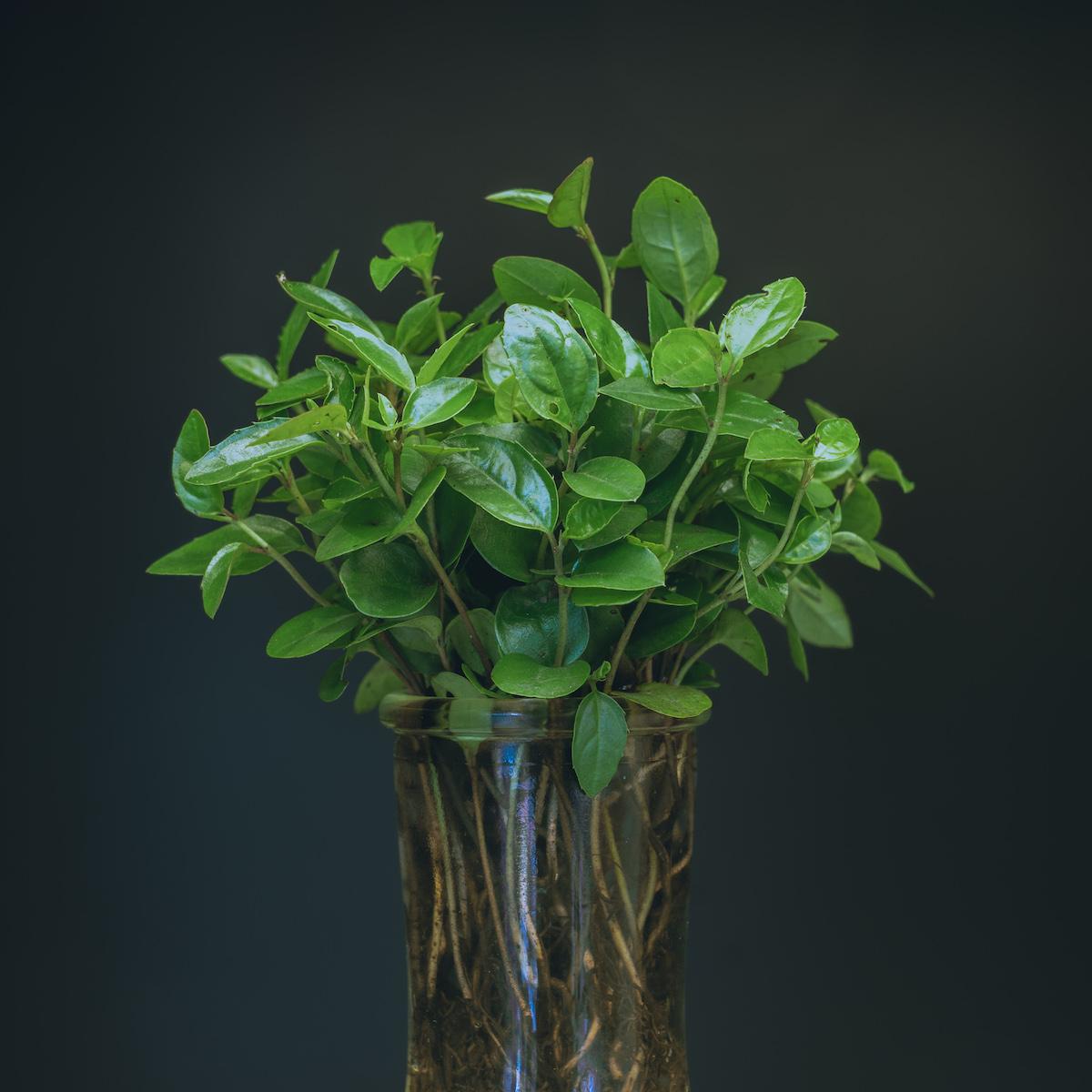 Camellia seedlings