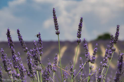 Provence Itinerary 5 Days: Luberon Villages, Lavender Fields, and Verdon Gorge // Valensole Lavender Fields