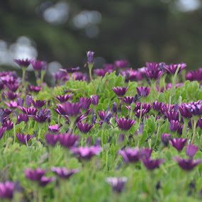 Seaside Flowerscape by Michael Smith - Flowers Flower Gardens ( field, nature, monterey bay, flowers, garden )