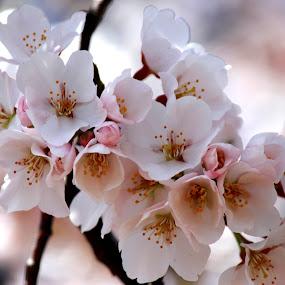 Cherry Blossom by Sunil Pawar - Flowers Tree Blossoms ( spring flowers, sakura, cherry blossom, springtime, cherry blossoms,  )