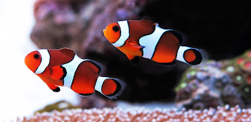 Clownfish Wallpaper - by lucas17 - Entertainment Category - 4