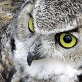 by Welsh Hawk - Animals Birds (  )