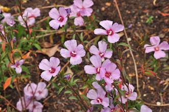 Photo: Clarkia rubicunda uit Califonia -Kew - Royal Botanical Gardens