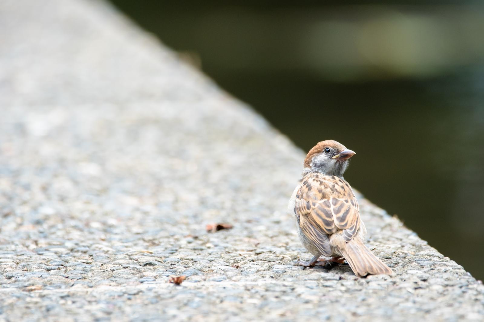 Photo: 「君の道へ」 / Start your life.  もう少しかな 君は君の道へ そこから始まる新しい道へ 大丈夫だよ もう君はひとりで飛べるんだから  Sparrow. (スズメ)  Nikon D500 SIGMA 150-600mm F5-6.3 DG OS HSM Contemporary  #birdphotography #birds #kawaii #ことり #小鳥 #nikon #sigma  ( http://takafumiooshio.com/archives/2769 )