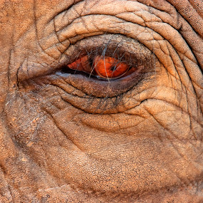 Eye of the Elephant by Gary Parnell - Animals Other ( elephant, animal, eye )