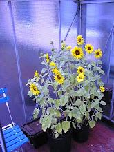 Photo: 2000 - Auringonkukkia kasvihuoneessa