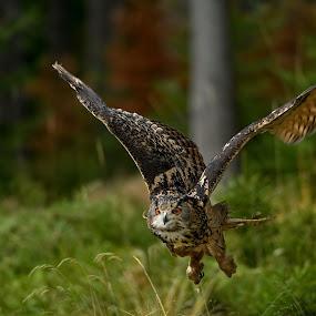 Eagle Owl by Petr Kovar - Animals Birds ( bird, flying, bird of prey, autumn, green, forest )