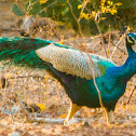 Indian Peafowl, common peafowl, blue peafowl (male / Peacock)