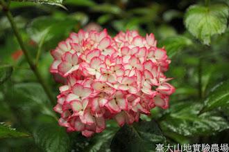 Photo: 拍攝地點: 梅峰-展售部旁 拍攝植物: 繡球花 拍攝日期: 2014_05_27_FY