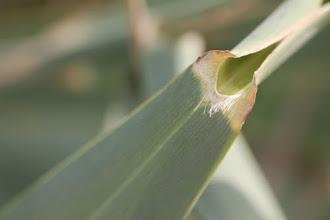 Photo: Flora zona humida: Phragmites australis (detall fulla).