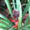 Pineapple plants