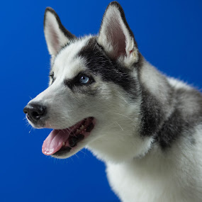 A husky! by Matt LaCorte - Animals - Dogs Portraits (  )