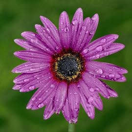 Purple Daisy by Jim Downey - Flowers Single Flower ( gold, green, black, purple, daisy )