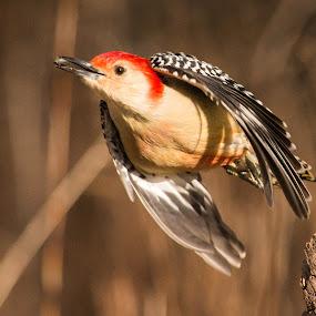 I got a seed! by Susan Hughes - Animals Birds ( red-bellied woodpecker, birds )