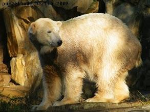 Photo: Sonnenscheineisbaerchen Knut :-)