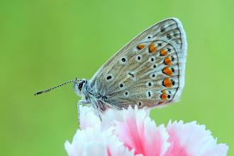 Photo: Polyommatus Icarus, Argus Bleu , Common Blue http://lepidoptera-butterflies.blogspot.fr/
