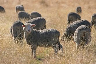 Photo: Schafe auf der Wither Hills Farm