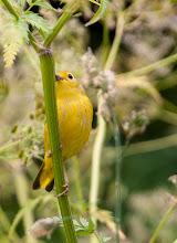 Photo: Yellow Warbler, Bidgoods Park