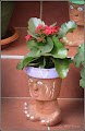 Photo: Kalanchoe (Kalanchoe spp) - de pe Str. Salinelor - 2016.04.27  Album:Sedum http://ana-maria-catalina.blogspot.ro/2016/04/sedum-iarba-grasa-sedum-spectabile.html