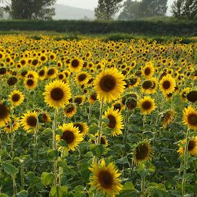 Girasoles by Juan Tomas Alvarez Minobis - Flowers Flowers in the Wild ( toscana, sunflowers, flowers, italy, fields,  )