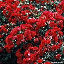 Photo: Beetrose Rotilla - Kordes' Rose Rotilia®, Züchter: W. Kordes' Söhne 2000