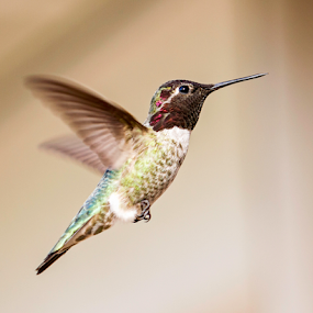 Hummingbird by Cheryl Nestico - Animals Birds ( bird, flying, macro, hummingbird,  )