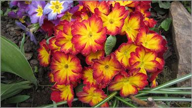 Photo: Primula (Primula: veris, vulgaris) - din Turda, Calea Victoriei, Nr. 17, 19, spatiu verde - 2019.04.09