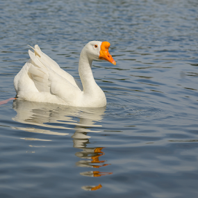 Duck by Fabienne Lawrence - Animals Birds ( feather, duck, wather, bird, animal, lake )