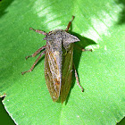 Horned Treehopper