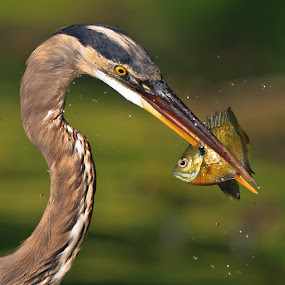 by Herb Houghton - Animals Birds ( great blue heron, bluegill, wading bird, sunfish, herbhoughton.com, heron, egret, animal, motion, animals in motion, pwc76 )