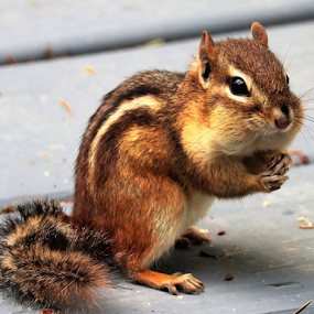 Chipmunk Chuppy Cheeks by Paul S. DeGarmo - Animals Other ( chimpmunk, cheeks, up, close, full,  )