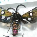 Real polilla tigre / Princely tiger moth