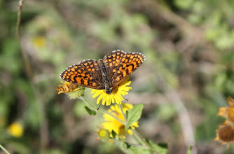 Photo: Mellicta athalia     Lepidoptera Nymphalidae